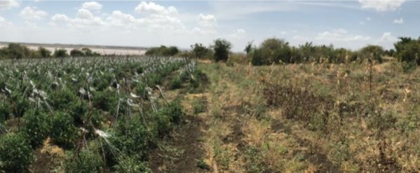 The difference irrigation makes for Kenyan farmers_The Imagination Factory solar irrigation project